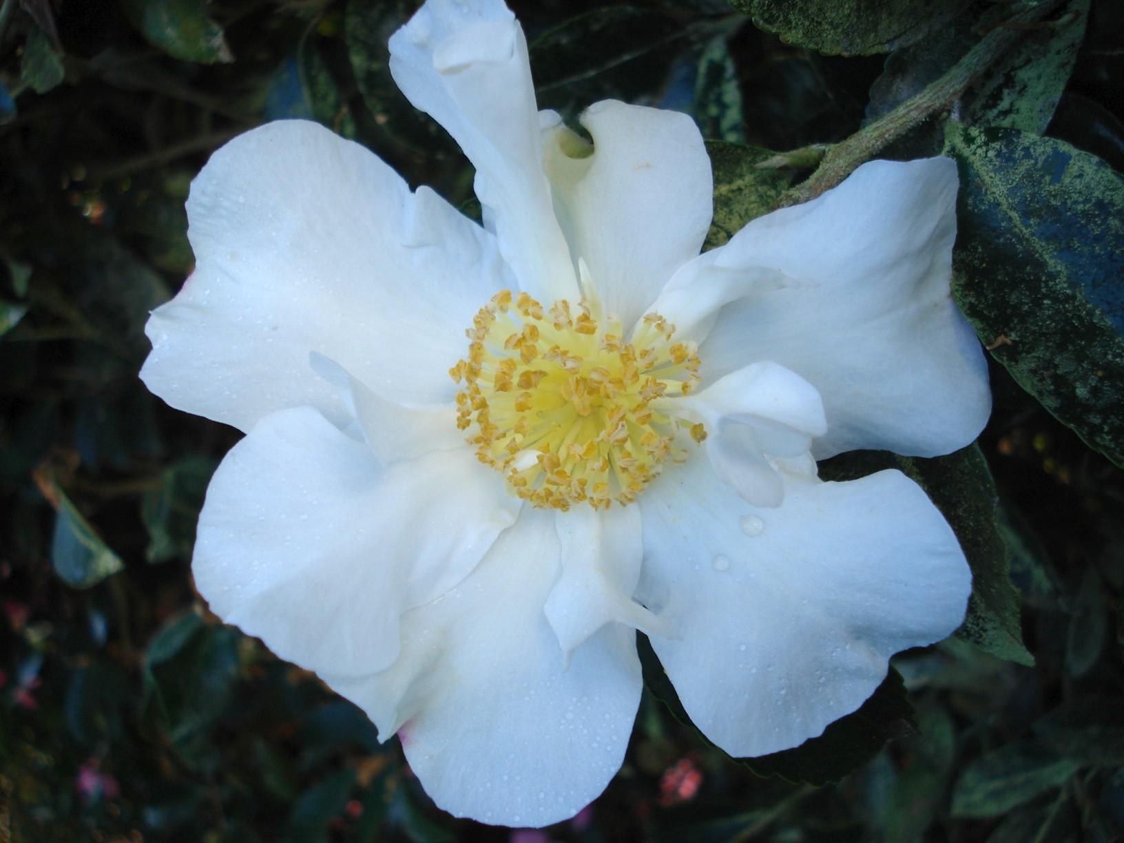 Camellia Setsugeka standards