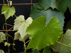 Grape leaves on steel trellis