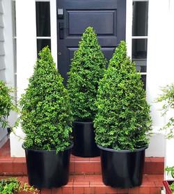 Buxus topiary cones