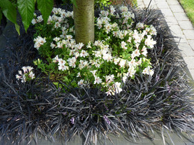 Alstroemeria & Black Mondo Grass