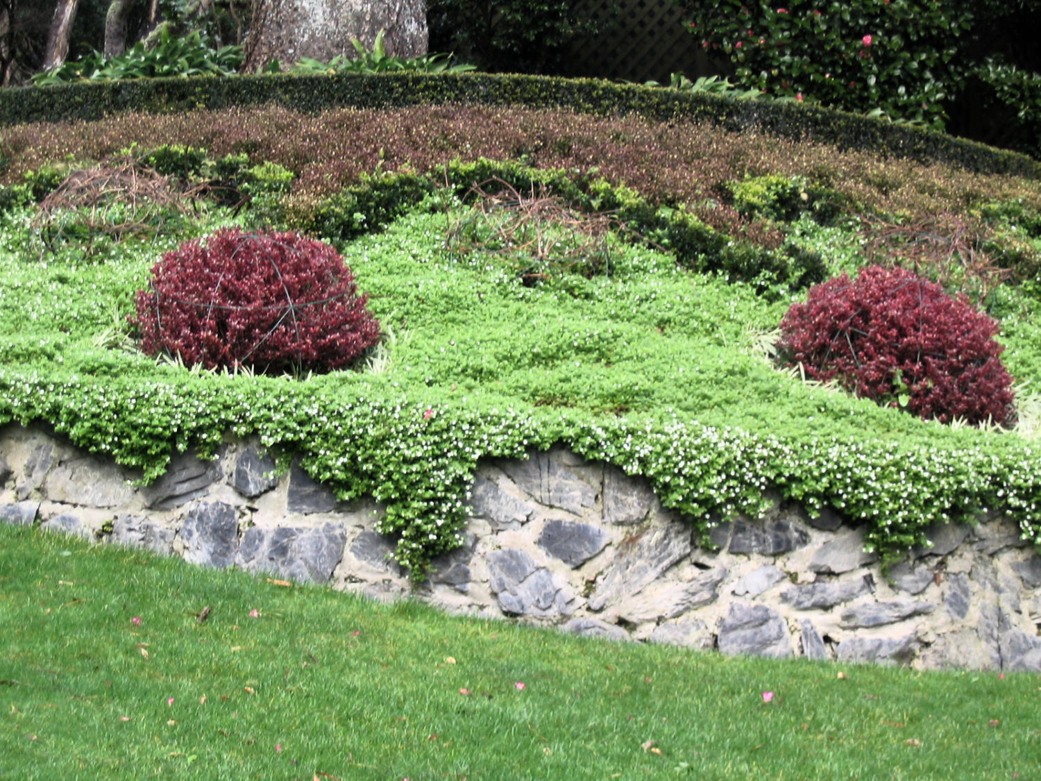 Red coprosma topiary domes
