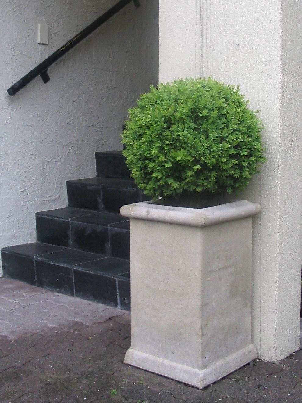Boxwood | Buxus topiary ball