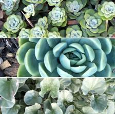 Coastal plants & succulents