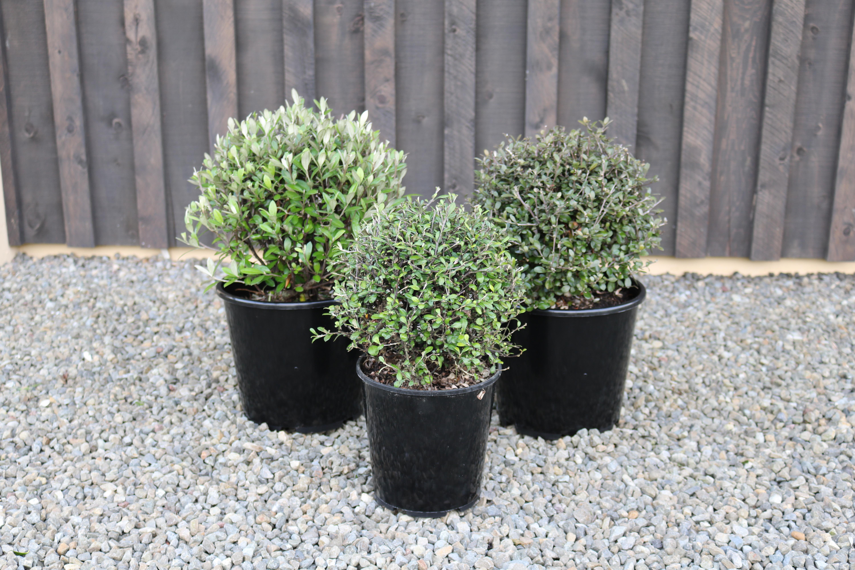 NZ native plants corokia balls