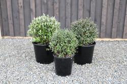 Corokia topiary & balls 3 kinds