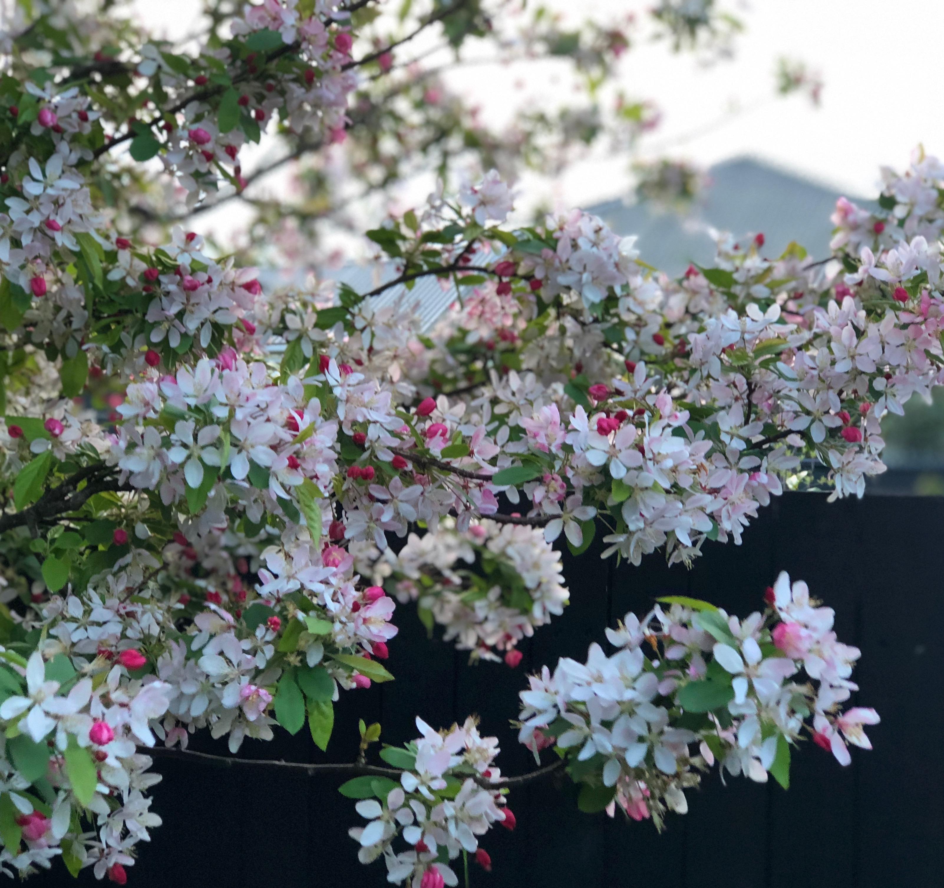 Japanese Crabapple, Malus floribunda