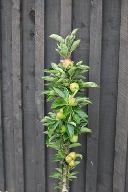 Ballarina apple column