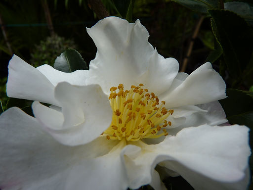 White Camellias & other garden darlings