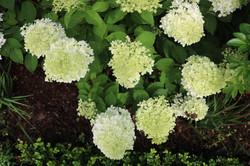 White hydrangea Limelight