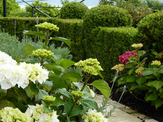 Hydrangea flowers & Buxus hedge & topiary