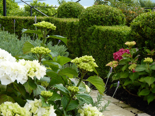Hydrangea flowers & Buxus hedge & topiary