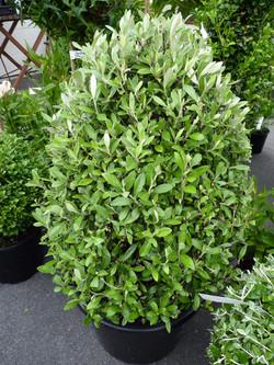 Corokia Geentys Green topiary