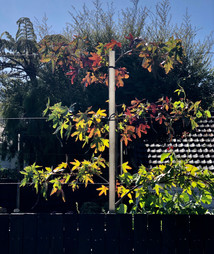 Pleached Liquidambars in autumn