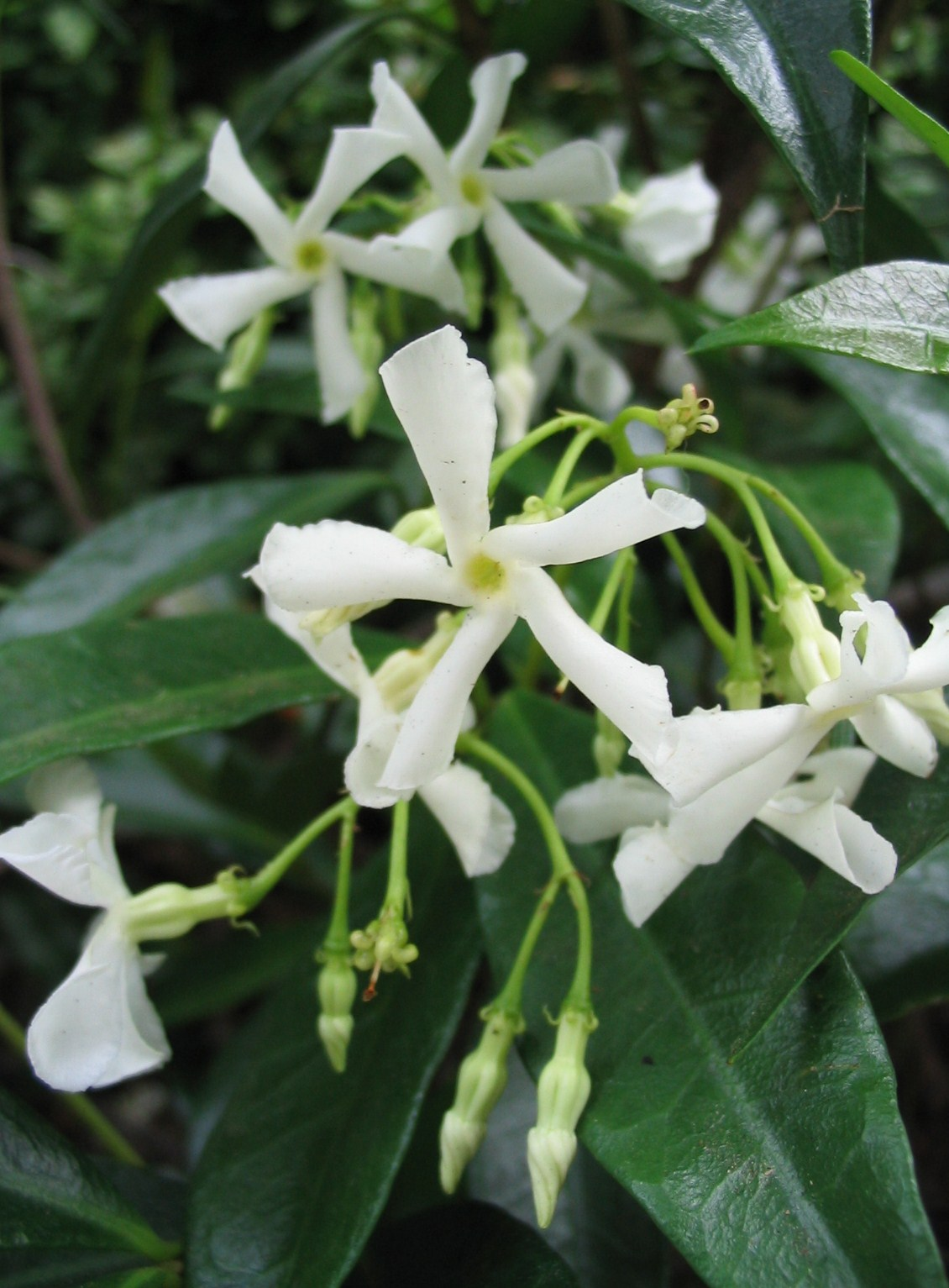 Fragrant Jasmine flowers in summer