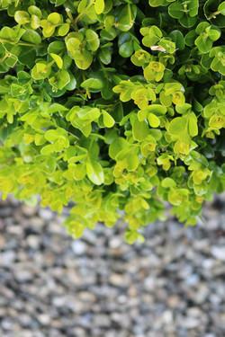 "Buxus ""Green Gem"" leaf detail"