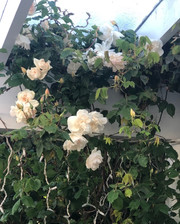 Roses & wisteria along the verandah