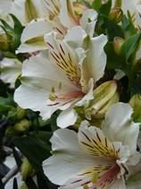 Alstroemeria White Buttons
