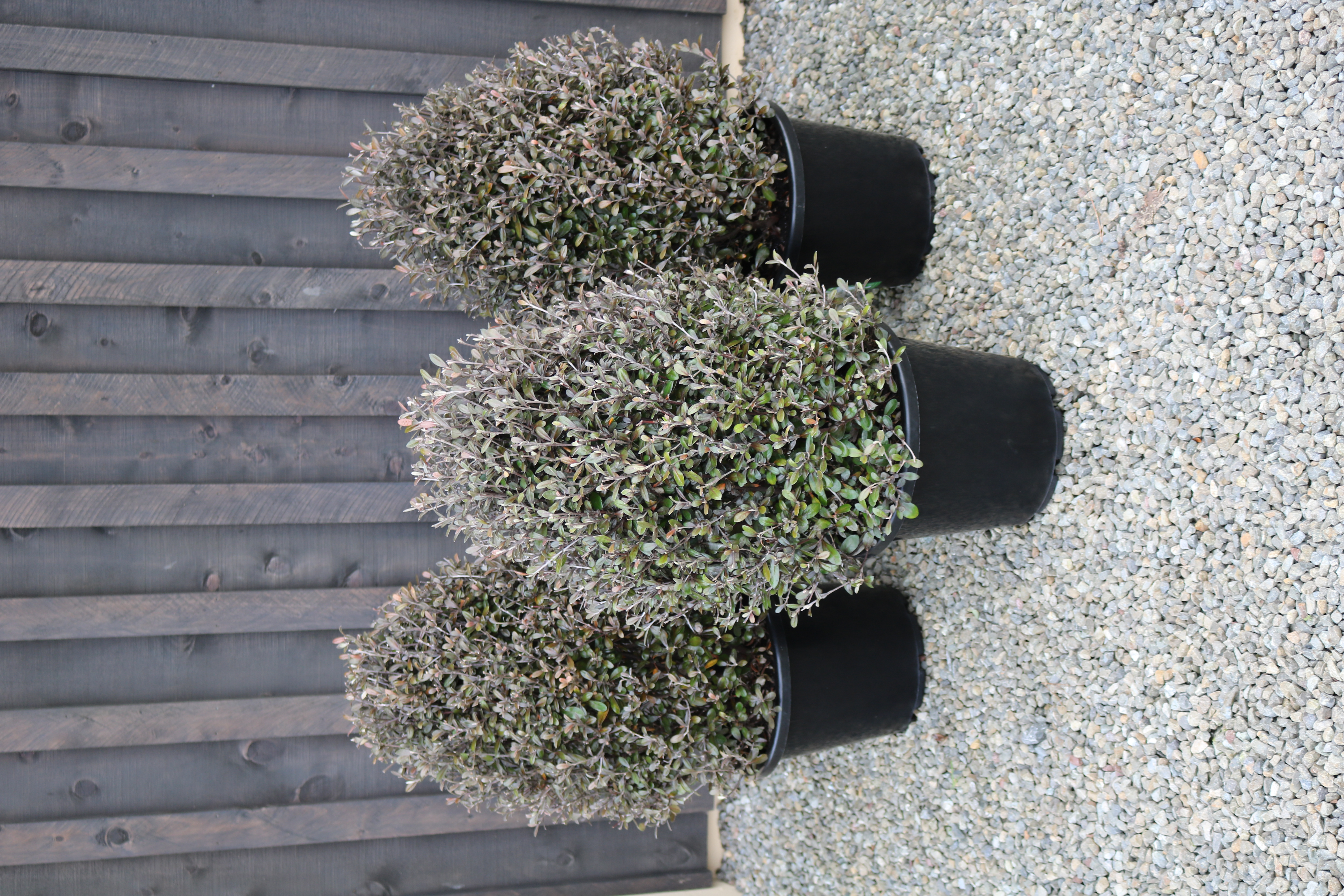 """Corokia """"Frosted Chocolate"""""""