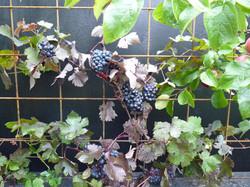 Grapes on steel trellis mesh