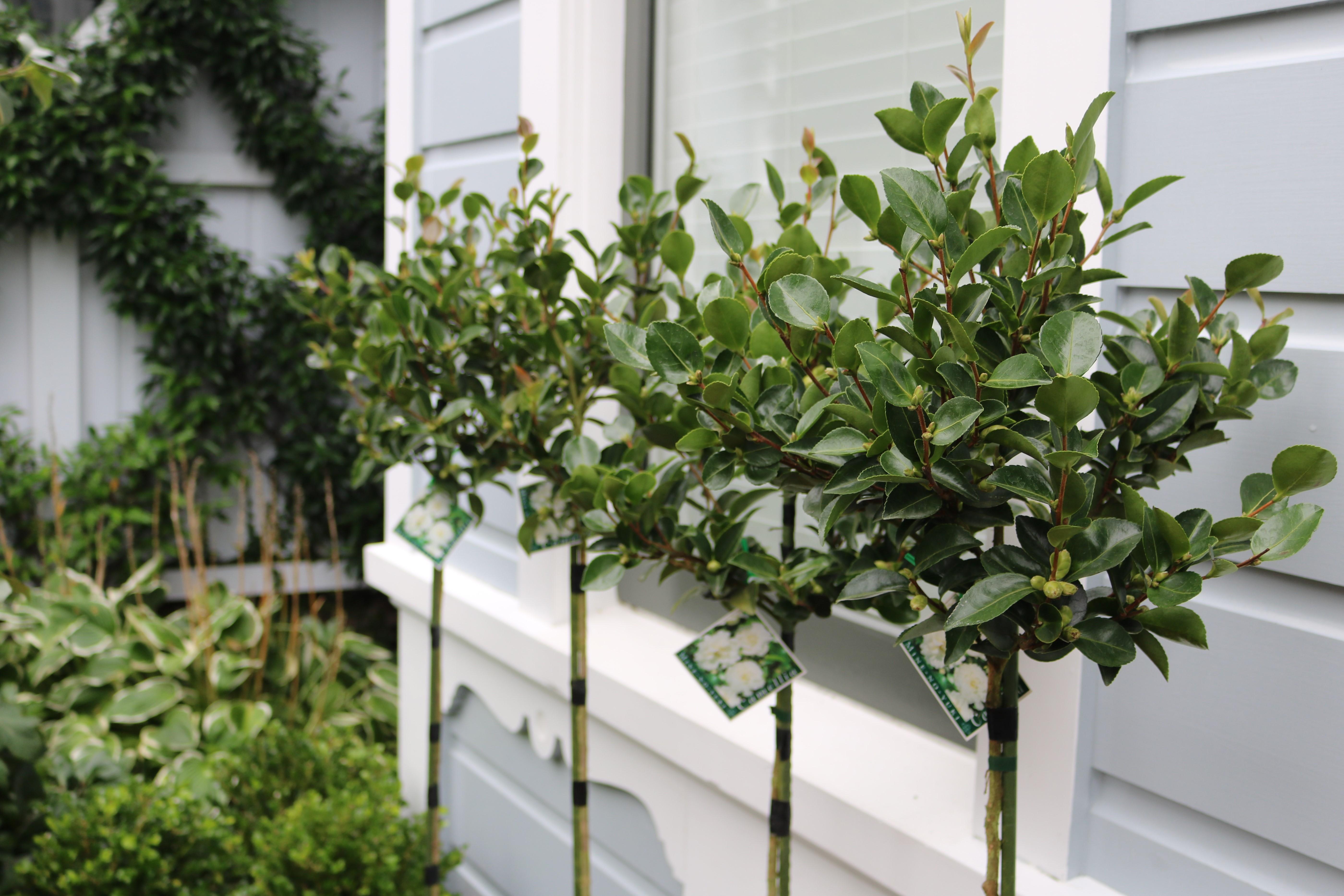 White flowering Camellia standards