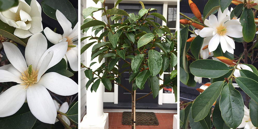 Michelia Fairy White Magnolia