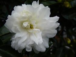 White Camellia standard Mine No Yuki