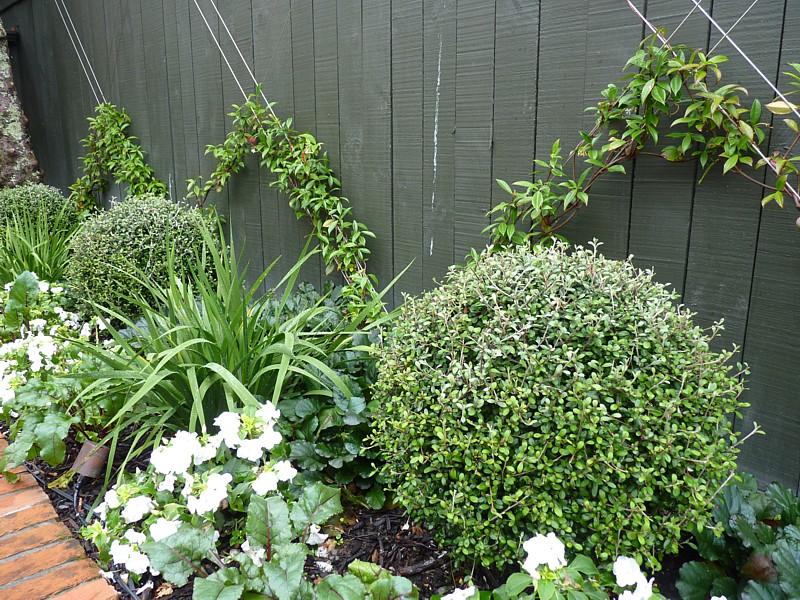 Jasmines just planted