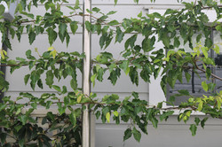 Pleached trees for privacy