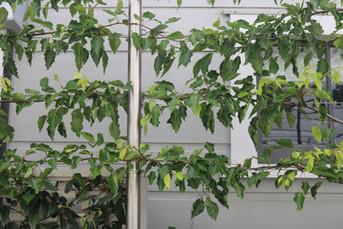 Pleached flowering pears on stainless steel framework