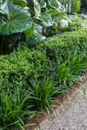 Layered Box hedge, liriopes & corten steel garden edging