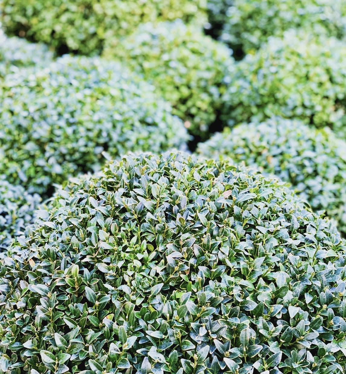 Buxus ball topiary