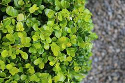 "Buxus ""Green Gem"" leaves"