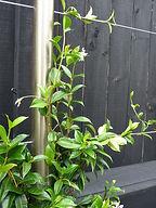 Custom designed stainless steel framework for climbing jasmines