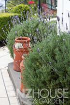 Lavender hedging & balls