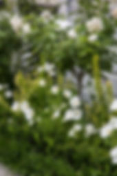 Green & white planting scheme roses, cosmos hedge mondo grass