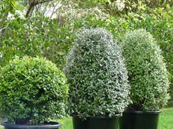Corokia topiary