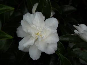 White flowering Camellia hedging in winter