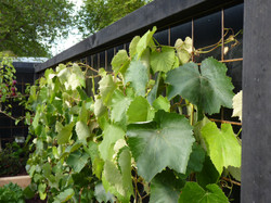 A wall of grape leaves