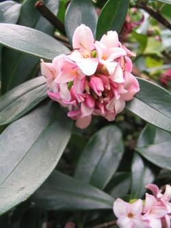 Daphne leucanthe flowers