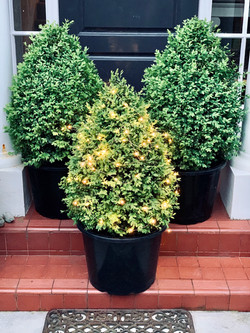 Buxus topiary cone