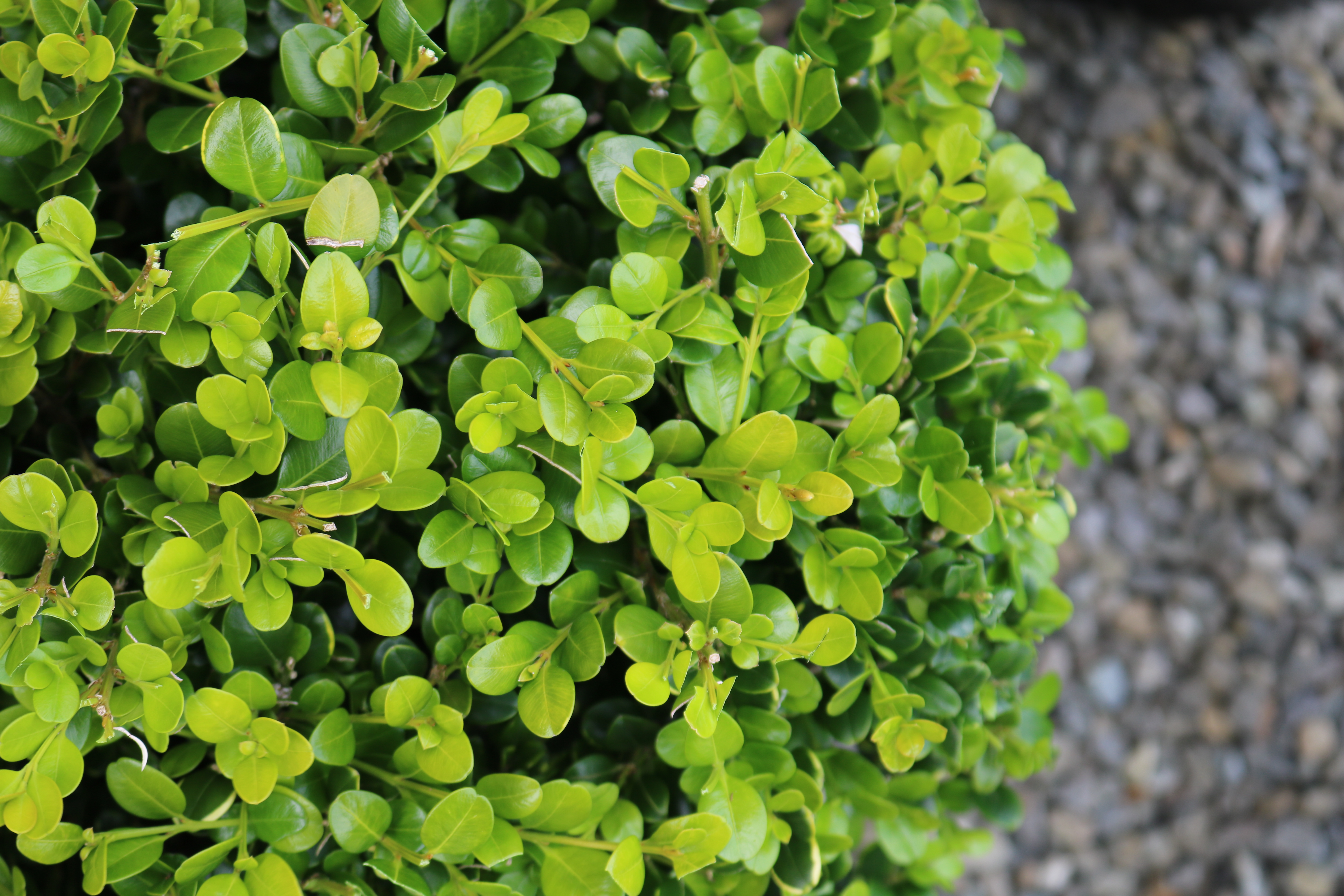 "Buxus ""Green Gem"" leaves"