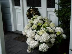 Hydrangea in flower at Xmas