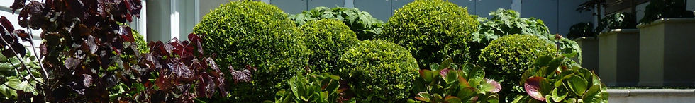 Buxus care & advice, looking out for problems including Box blight