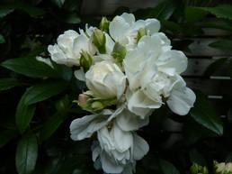 Un-named climbing white rose on trellis