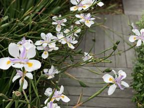 Wild Iris, Dietes grandiflora