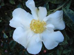 Camellias & Other Garden Darlings