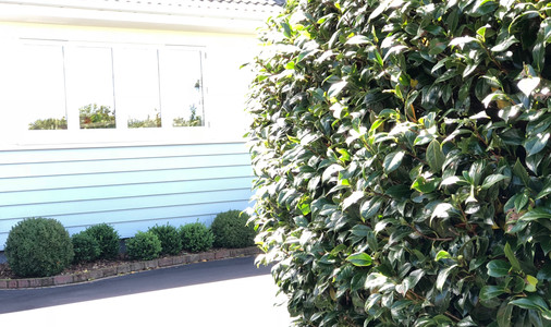 Boxwood balls echoing the camellias