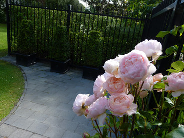 Roses & pyramid topiary grown by HEDGE