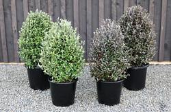 Corokia topiary cones