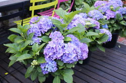 Hydrangeas for pots